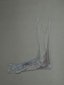 Anatomical Study of a Bear's Foot